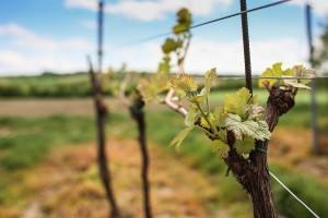 Free- Budding Vine